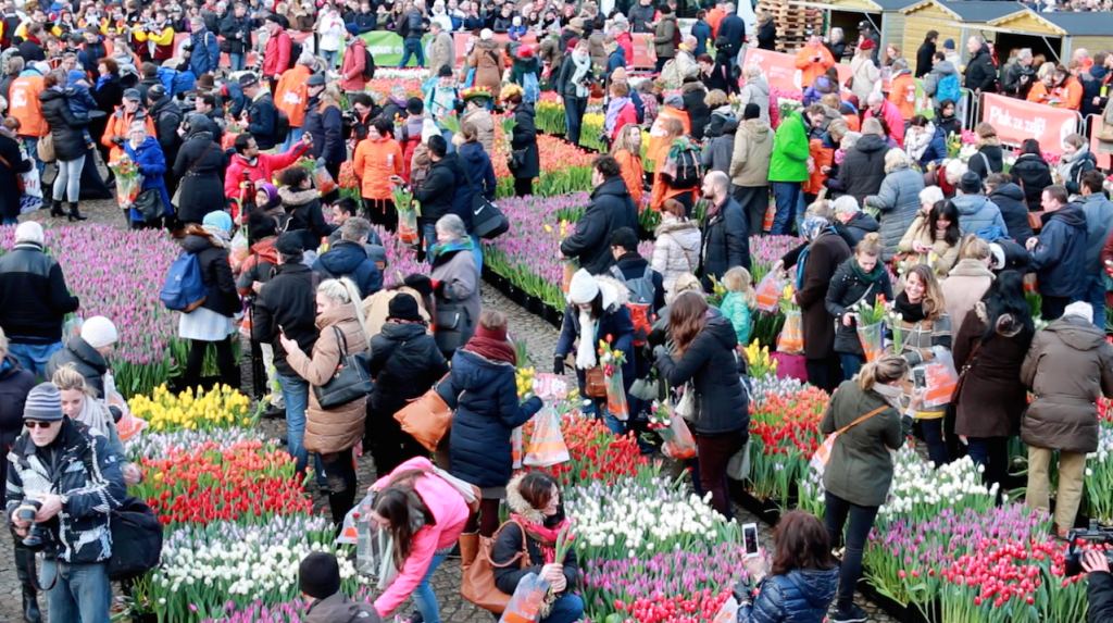 National Tulip Day - Picking Frenzy